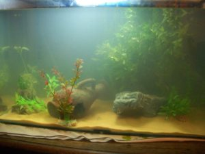 water with a milky appearance may be a sign of incomplete cycling a fish tank