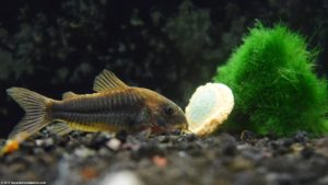 Cory catfish are good cleaners but sensitive in new aquariums