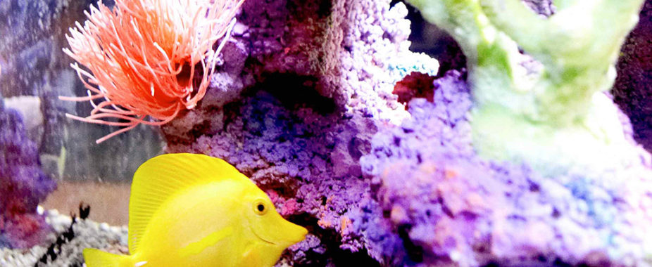 Yellow Tang swims through corals
