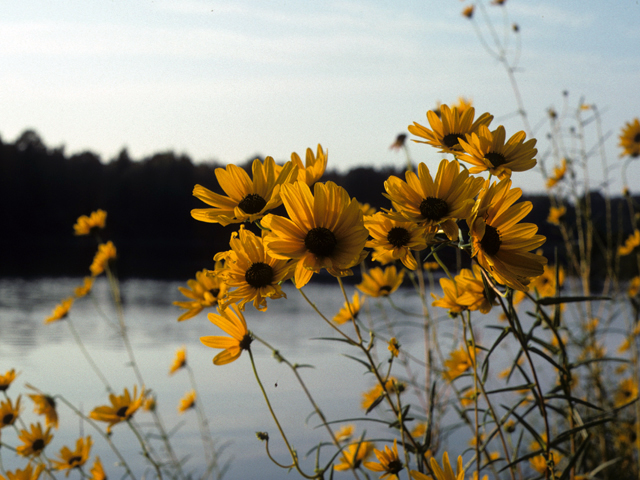 swamp sunflower